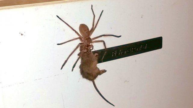 Araña gigante se comió un ratón