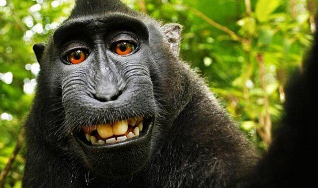 El macaco Naruto en el instante en que accionó la cámara y se tomó una selfie en Indonesia.