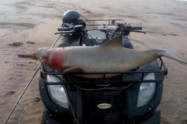 El hombre se paseó por la playa con el delfín muerto en su cuatriciclo.