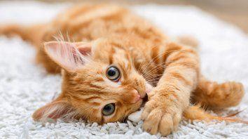 se multiplican los videos tierno con motivo del dia internacional del gato