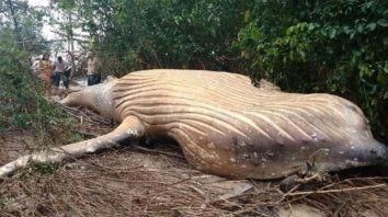 aparecio una ballena muerta en el medio del amazonas