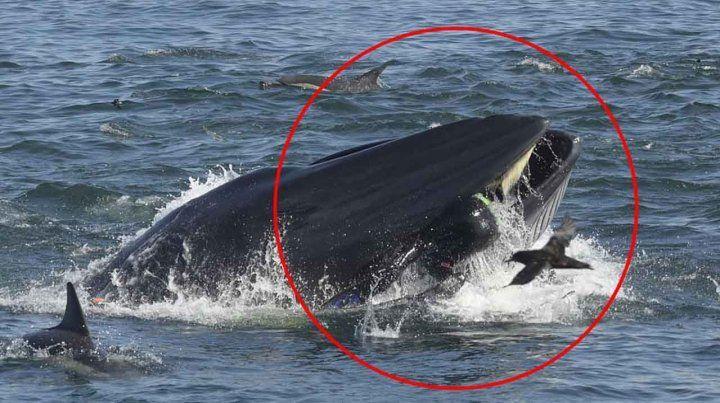 Una ballena se tragó a un buzo y después lo escupió, sano y salvo
