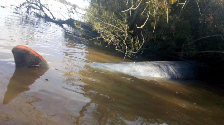 Hallan muerta a una ballena en aguas del río Paraná copy copy