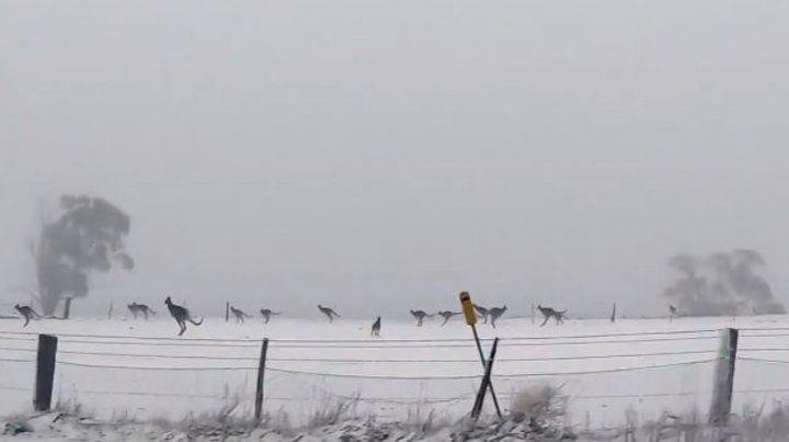 Canguros saltando en la nieve, la inusual imagen que recorre el mundo