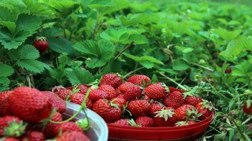 Por los ojos. La frutilla genéticamente modificada es más grande y vistosa, pero sin aroma ni sabor.