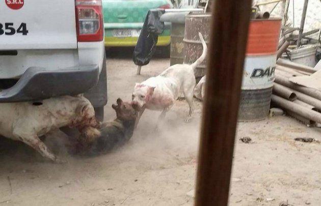 Un vecino entrena a sus dogos con perros callejeros