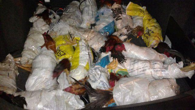 Llevaba 25 gallos de riña en el baúl del auto