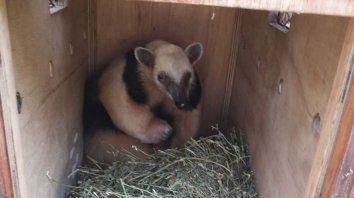 liberaron un oso melero en su habitat natural