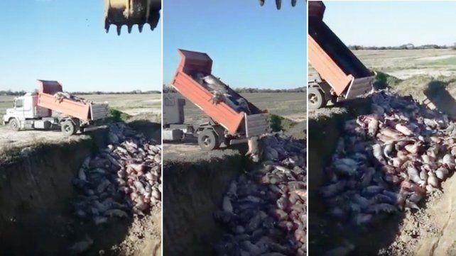 VIDEO: así tiraron 400 cerdos que se asfixiaron en un criadero