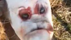conmocion en el norte santafesino un ternero con cara humana