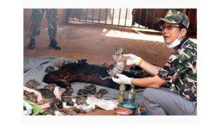 Hallan 40 cachorros de tigre en el congelador de un templo en Tailandia