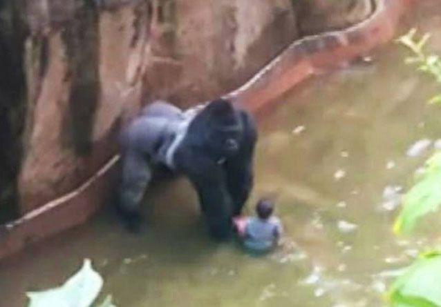 Matan a un gorila para salvar a niño de 4 años que cayó en su cubil