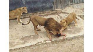 La carta mística que dejó el joven que se arrojó a la jaula de los leones