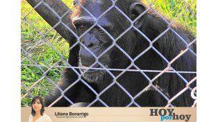 El chimpancé Toto vivió 37 años en cautivero. Murió en Concordia. Proteccionistas habían interpuesto un habeas corpus para liberarlo.