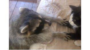 Mirá lo que pasa cuando un mapache trata de hacerse amigo de un gato