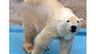 Preocupa el delicado estado de salud del oso Arturo