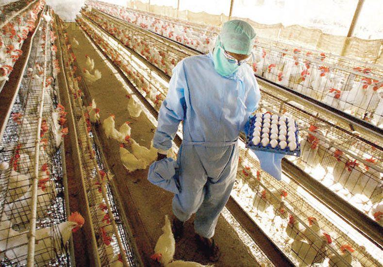 Trabajadores avícolas piden un 40% de aumento
