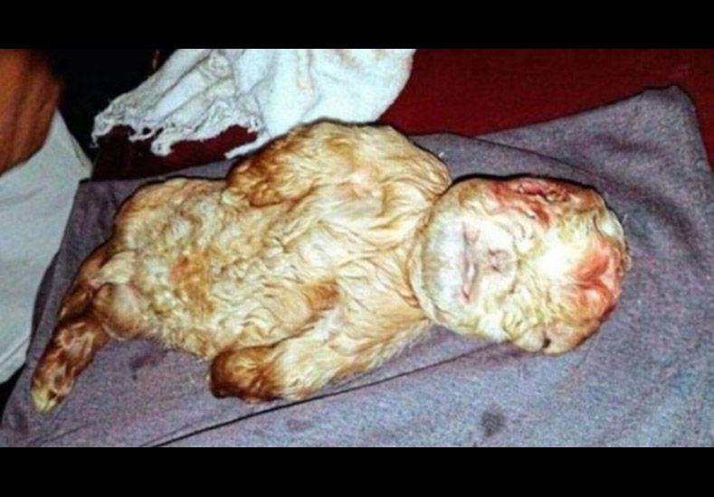 Increíble: nació un cabrito con cara de bebé