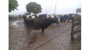 Sector comprometido. La producción cayó en un 30% y la calidad de la leche también disminuyó. Foto Gentileza/Ariel Schon