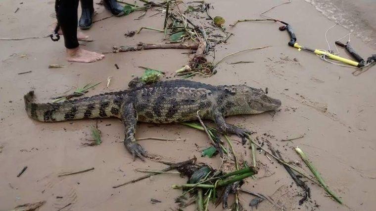 Un yacaré fue devorado por pescadores