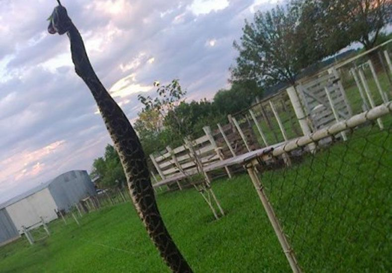 Tétrica visita: apareció una yarará en el patio de una casa