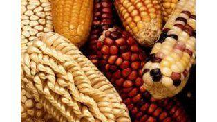 Alimentos. Cientos de razas de maíz se van reduciendo a unos pocos OGM