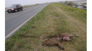 Los animales muertos a la ver ad ela ruta ya son una triste postal.