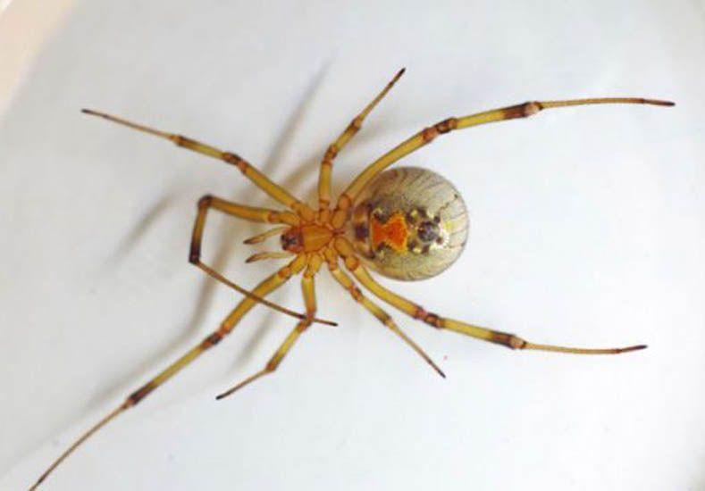 Apareció una araña venenosa nunca antes vista en el hemisferio sur