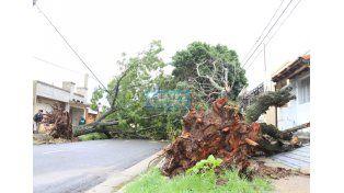 La lluvias previas ablandaron el suelo y cayeron árboles sanos y jóvenes. Foto UNO Juan Ignacio Pereira.
