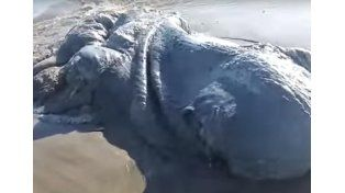 Misterio por el monstruo marino que apareció en Acapulco.  Foto: Captura de video.