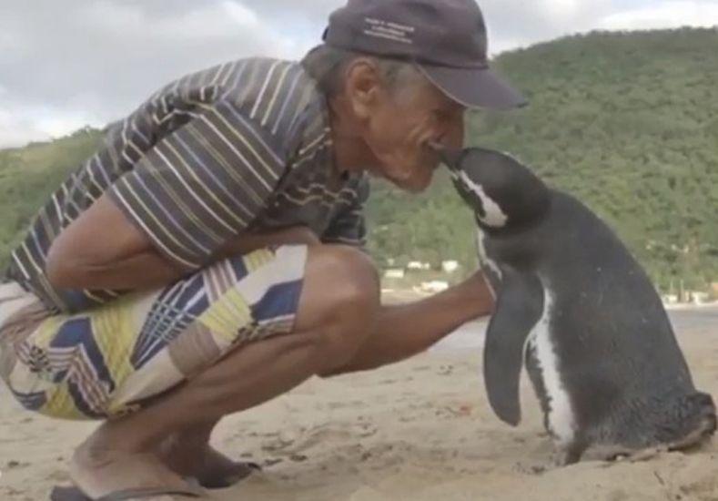 Un pingüino nadó 8.000 km para reencontrarse con el hombre que le salvó la vida