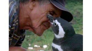 El pingüino que nada 8000 kilómetros todos los años para reencontrarse con el hombre que lo salvó