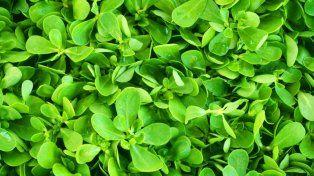 Verdolaga: la planta que ayuda a combatir el calor