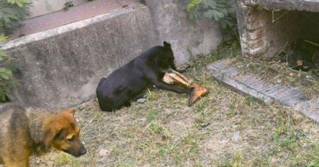 Horror: los perros comen cadáveres de un cementerio en Santiago del Estero