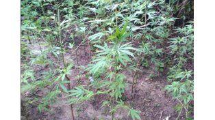 Descubrieron una plantación de marihuana en La Paz
