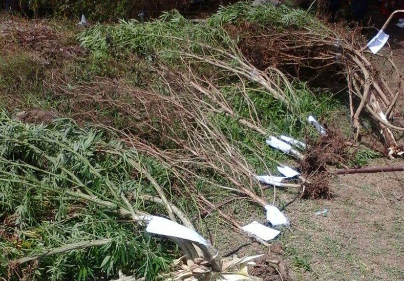 Secuestraron 23 plantas de marihuana en 25 de Junio al final