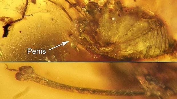 Una erección conservada en ámbar durante 99 millones de años