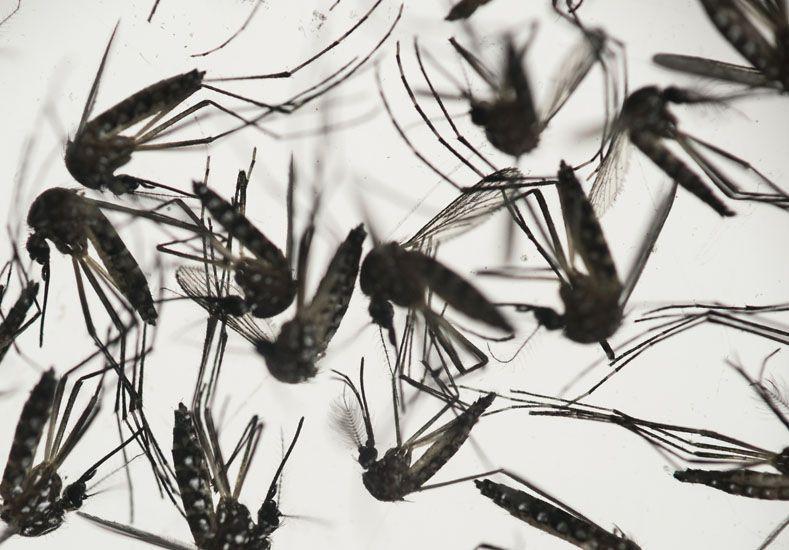 Zika. Foto: AP