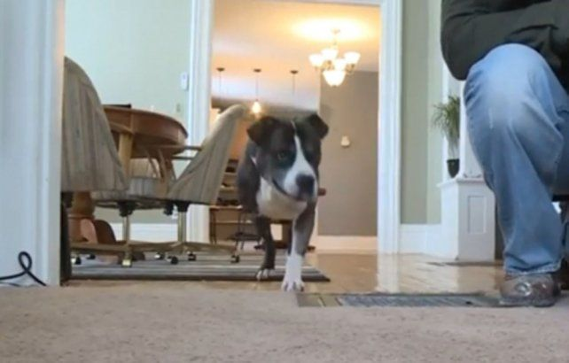 Pitbull de 3 patas frustró asalto a mano armada