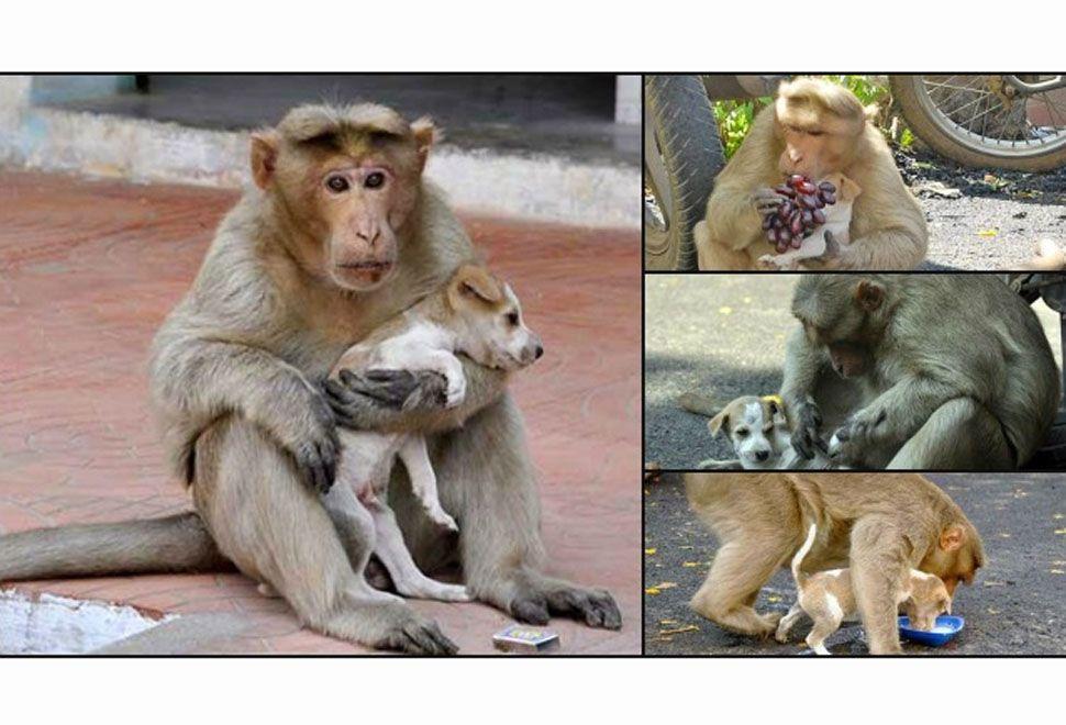 Monito solidario adopta cachorro y lo alimenta