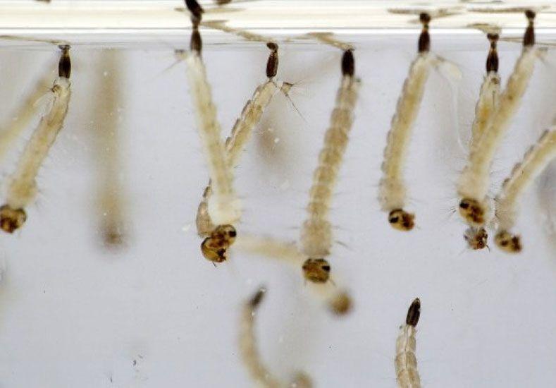 Foto: Las larvas del mosquito vector crecen en el agua estancada