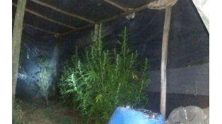 Arrendaba un campo y cultivaba marihuana detrás de la tapera