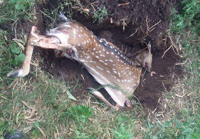 Triste final para un ciervo que apareció en Diamante