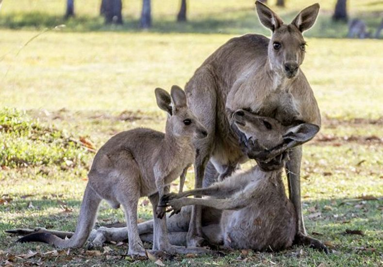 La foto que conmueve a Australia: el dolor de una familia de canguros