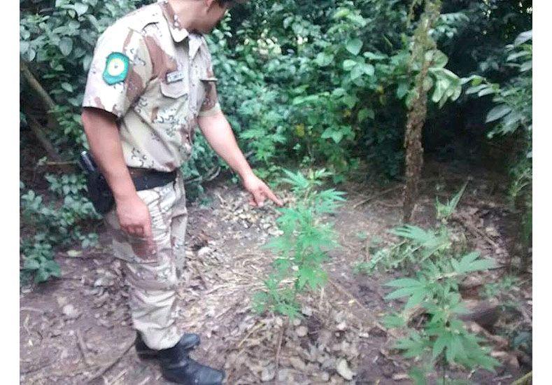 Descubrieron más de 500 plantas de marihuana en un campo de Victoria