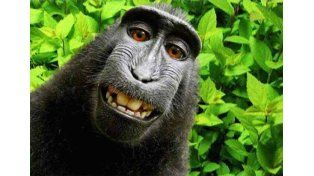 Lo dijo un juez: este mono no tiene derechos de autor sobre su selfie