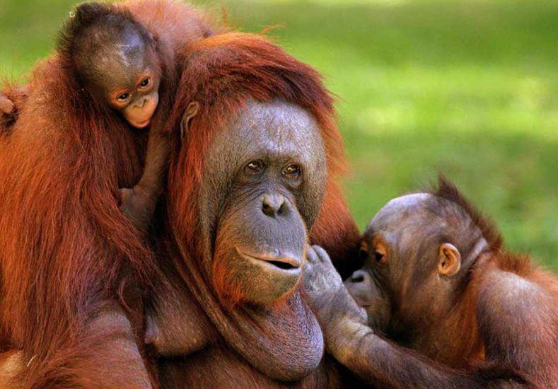"""Casi personas: los grandes simios podrían ser declarados """"patrimonio vivo de la humanidad"""""""