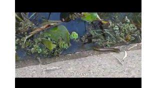 Video: una víbora en la costanera de Paraná
