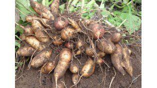 Una raíz ayuda a reducir la obesidad
