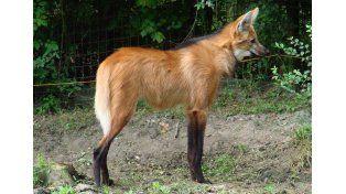 Aguará guazú. Una red de reservas permitirá la subsistencia de especies en riesgo.